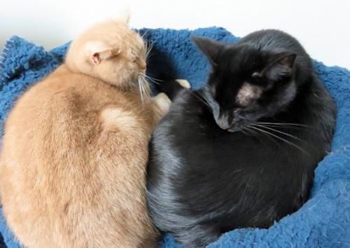 一緒に寝る猫たち