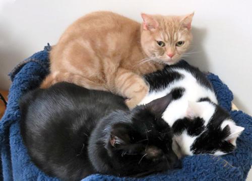 三匹猫団子
