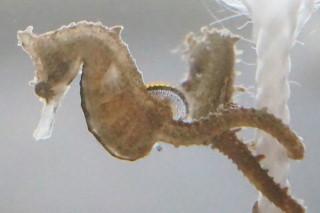 タツノオトシゴ雌(タツ)