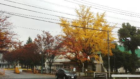 20171129 鹿児島大学銀杏