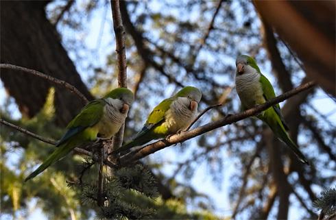 wild_quaker_parrot1_1