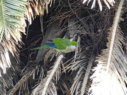 wild_quaker_parrot1_3
