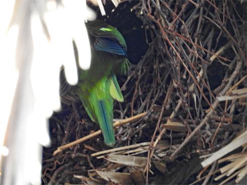 wild_quaker_parrot1_4
