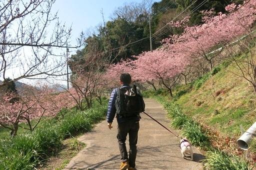 3-1桜散歩