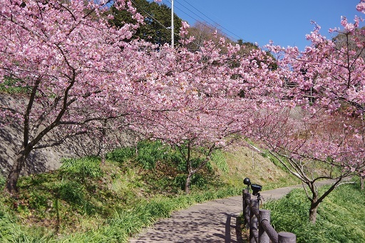 3-1桜景色