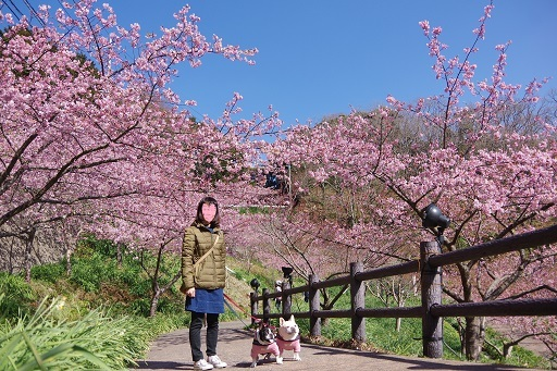 3-1桜ママふるうた2