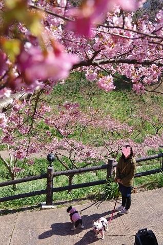 3-1桜たて