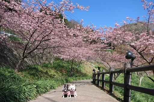 3-1ふるうた桜