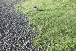 (置いただけ)リアル人工芝を砂利の上のそのまま敷いてみました。施工後画像3