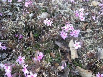 香菜ガーデンの周りの道、芝桜?180115
