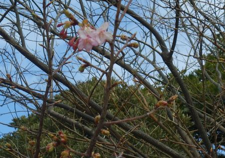 お台場の河津桜
