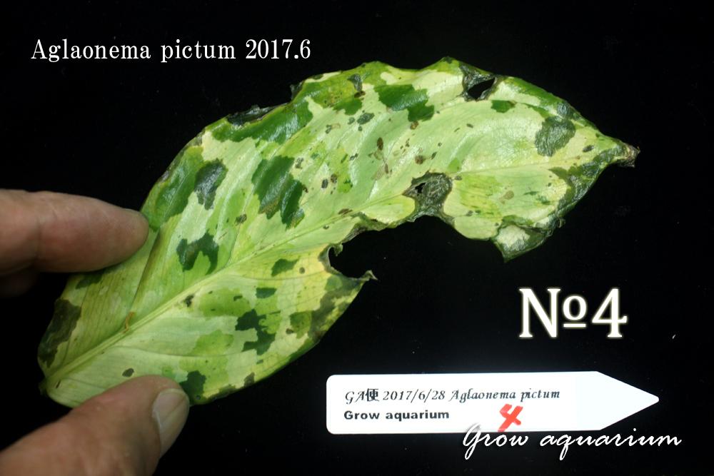 アグラオネマ ピクタム ナンバーフォー[Aglaonema pictum No.4 2017.6]