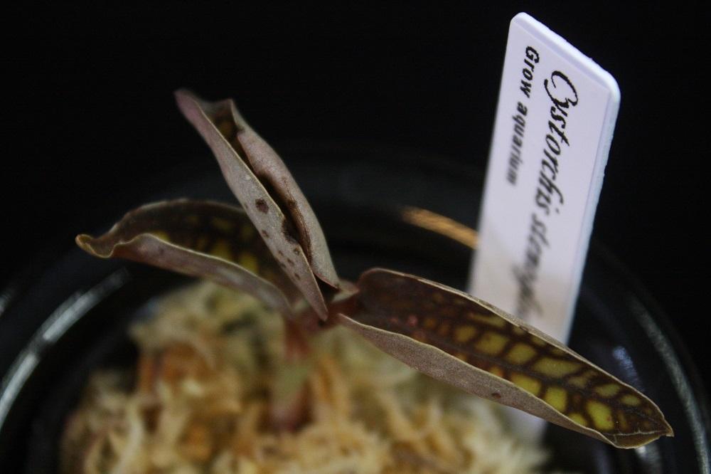 シストーチス ステノグロッサ[Cystorchis stenoglossa]