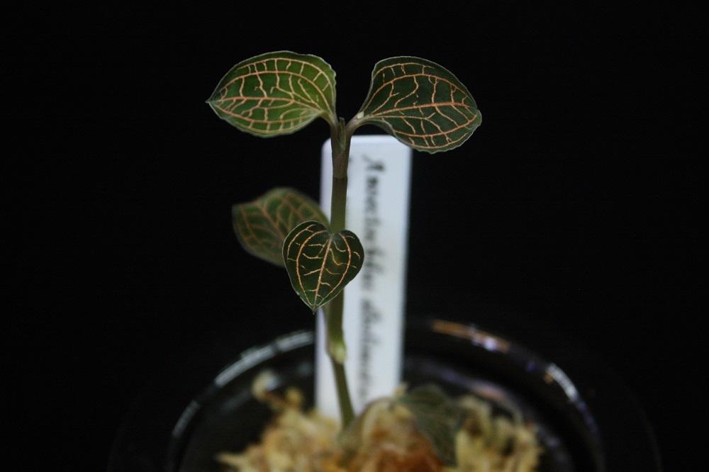 アネクトキルス アルボリネータス[Anoectochilus albolineatus]
