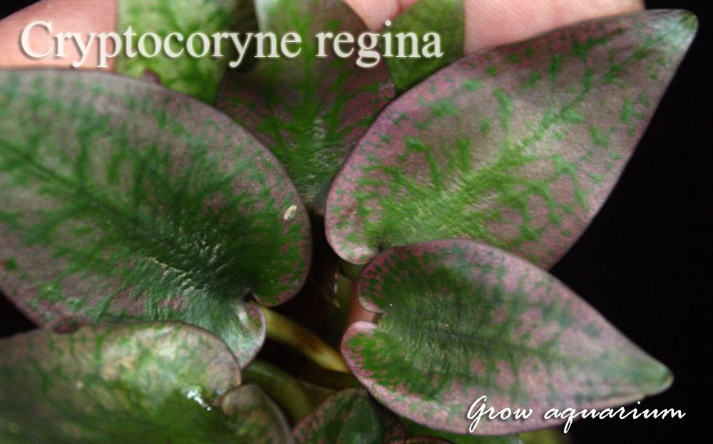 Cryptocoryne Regina