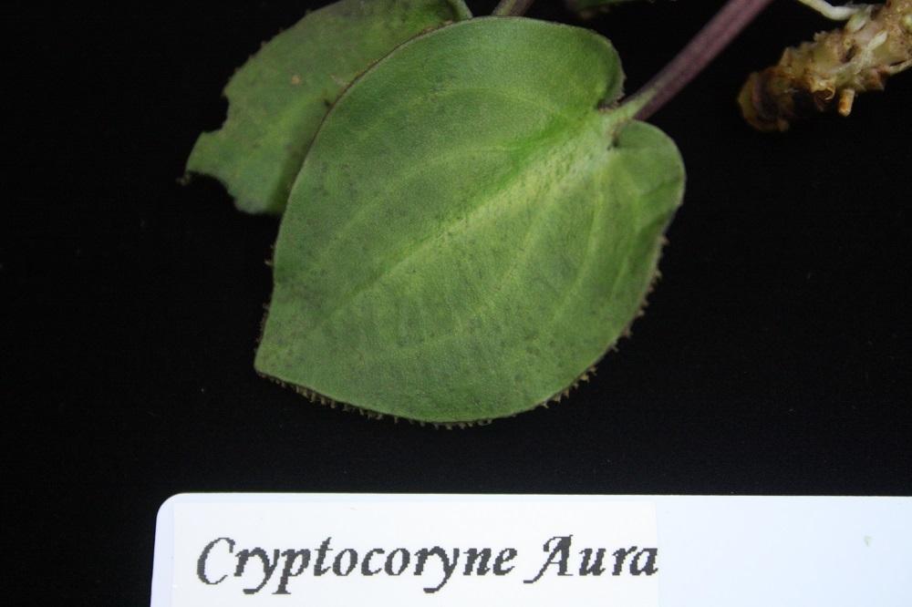 Cryptocoryne Aura