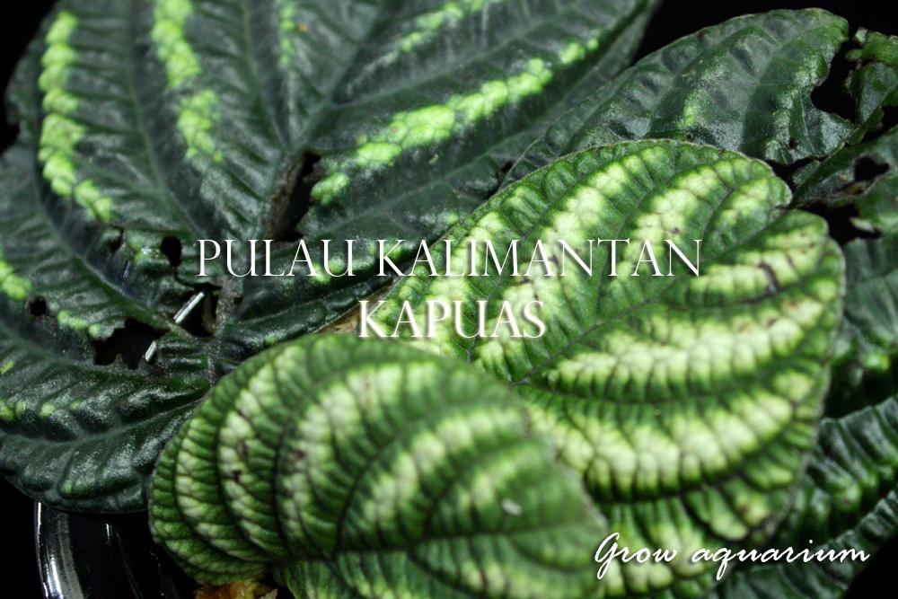 sp.カリマンタン カプアス[sp.Kalimantan Kapuas]
