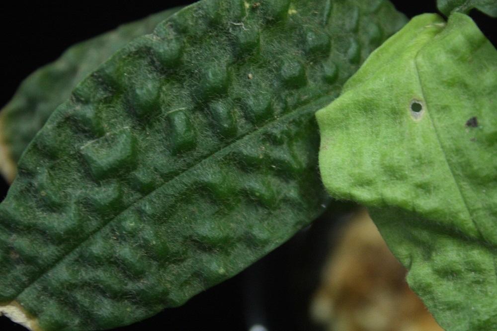 ジンギベラセアエsp.カリマンタン カプアス.[ Zingiberaceae sp.Kalimantan Kapuas]
