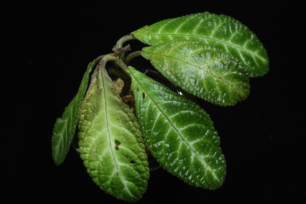 ゲスネリアsp.カリマンタン カプアス.[Gesneria sp.Kalimantan Kapuas]