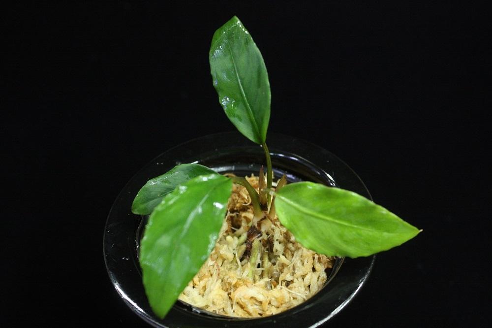 ピプトスパサsp.カリマンタン カプアス.[Piptospatha sp.Kalimantan Kapuas]