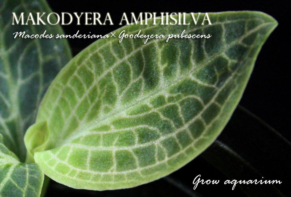 マコディエラ アンフィシルヴァ[Makodyera Amphisilva]
