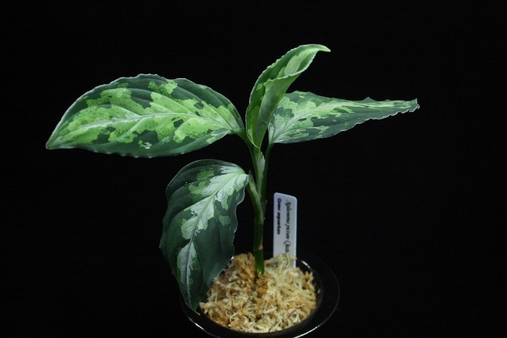 Aglaonema pictum quattro