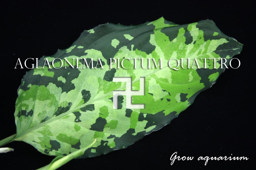 アグラオネマ ピクタム クワトロ マンジ[Aglaonema pictum quattro 卍]