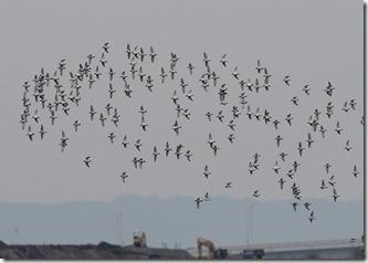 180114018 ハマシギの群れ