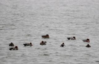 180129002水辺で採餌していたヒドリガモ群れ(鵲)