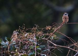 180129006 枝先で見かけたホオジロ♂(鵲)