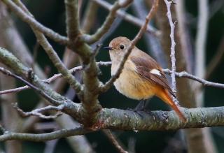 180129007 ジョウビタキ♀(鵲)