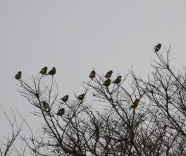 180129011 カワラヒワの群(鵲)