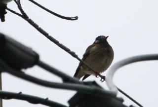 180129012 電線で休息中のムクドリ(鵲)