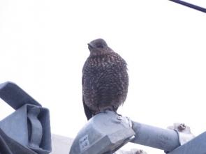 180129016 姪浜港で見かけたイソヒヨドリ♀