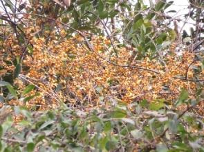 180129024 赤い実が美しいツルウメモドキ