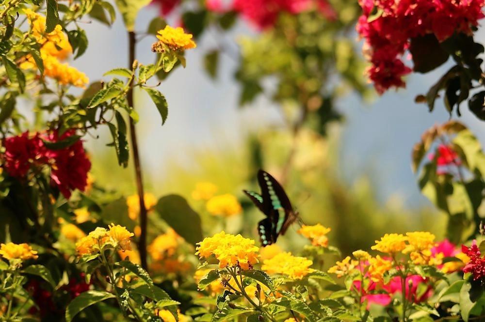庭の植物とアオスジアゲハ(1)