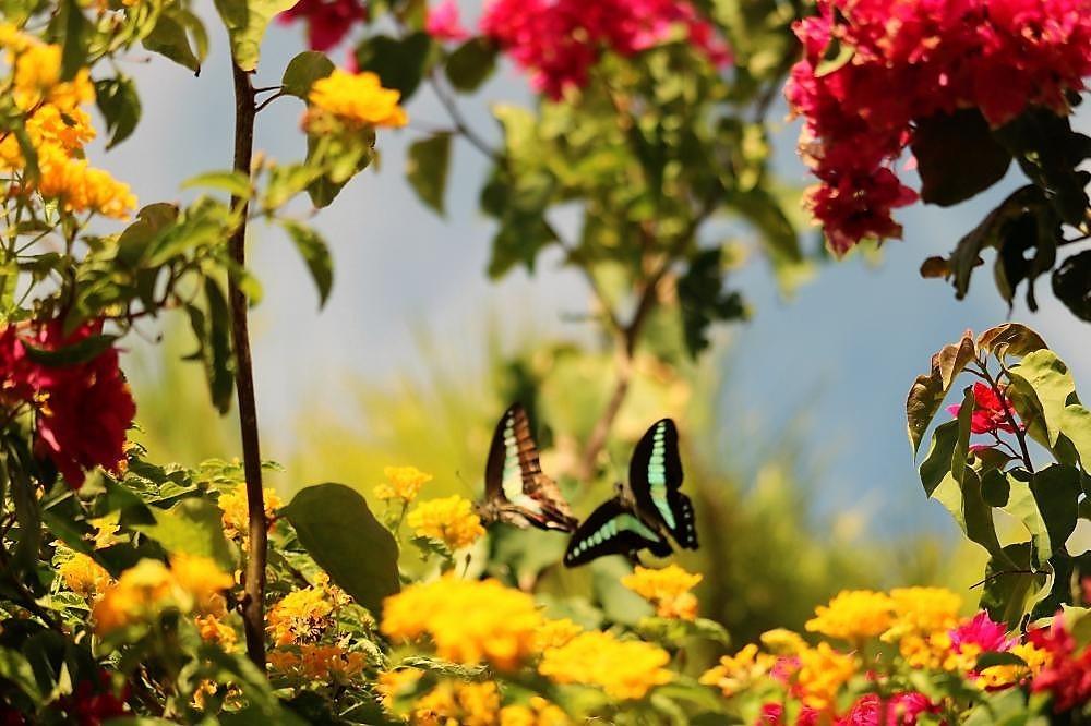 庭の植物とアオスジアゲハ(2)