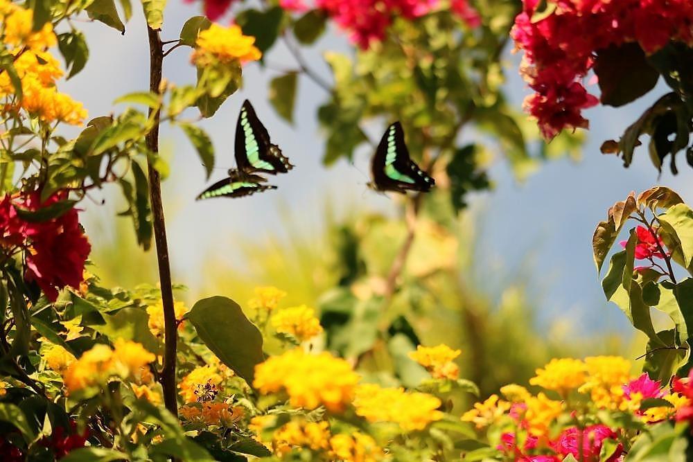 庭の植物とアオスジアゲハ(3)