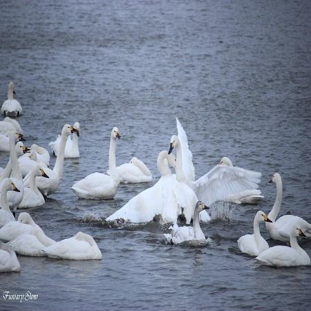 swan20190212a.jpg