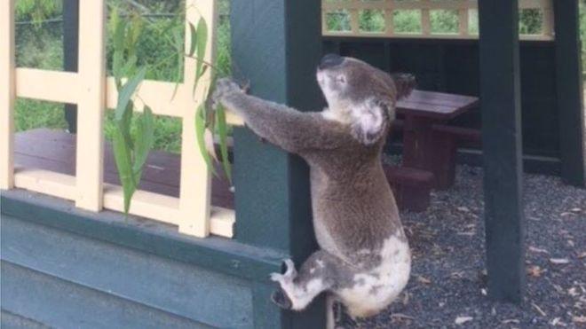 _99549883_koala.jpg