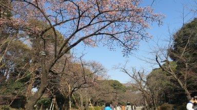 寒桜の咲く上野公園