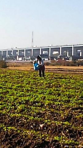 水かけ菜の追肥作業