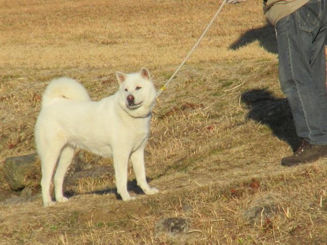 紀州犬かな?