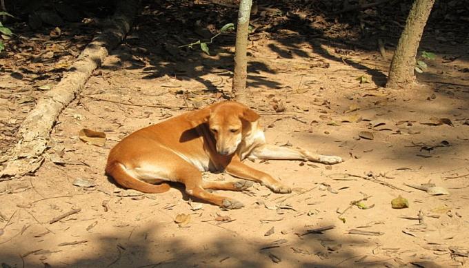 暑い国の犬は毛が短い