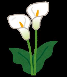 flower_himekaiu_calla.png