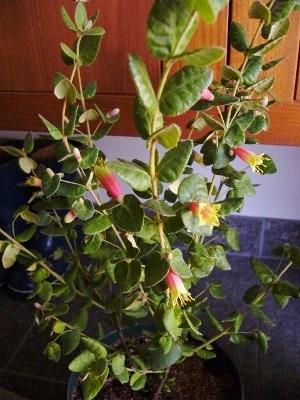 コーレア・2色咲き