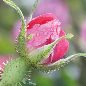 plant-wild-rose.jpg