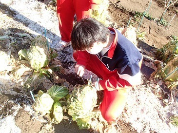 下山千歳白菜 収穫