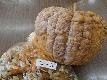 雑司ヶ谷南瓜 採種4