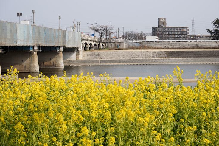 180224武庫川の菜の花3